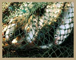 A photo of fish in a fishing net