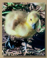 Photo of a baby duck